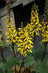 Little Rocket Rayflower (Ligularia 'Little Rocket') at Roger's Gardens