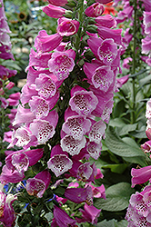 Dalmatian Purple Foxglove (Digitalis purpurea 'Dalmatian Purple') at Roger's Gardens