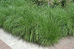 Fountain Grass (Pennisetum alopecuroides) at Roger's Gardens