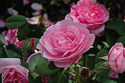 Gertrude Jekyll Rose (Rosa 'Gertrude Jekyll') at Roger's Gardens