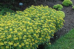 Aizoon Stonecrop (Sedum aizoon) at Roger's Gardens