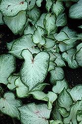 White Dynasty Caladium (Caladium 'White Dynasty') at Roger's Gardens
