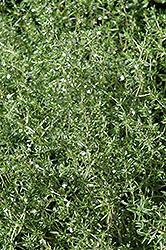 Summer Savory (Satureja hortensis) at Roger's Gardens