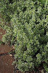 Aureus Lemon Thyme (Thymus x citriodorus 'Aureus') at Roger's Gardens