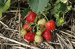 Everbearing Strawberry (Fragaria 'Everbearing') at Roger's Gardens