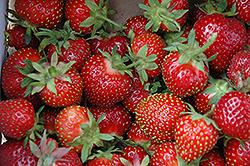 Chandler Strawberry (Fragaria 'Chandler') at Roger's Gardens