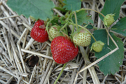 Everest Strawberry (Fragaria 'Everest') at Roger's Gardens