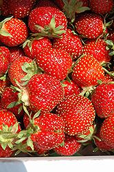 Tristar Strawberry (Fragaria 'Tristar') at Roger's Gardens