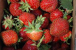 Allstar Strawberry (Fragaria 'Allstar') at Roger's Gardens