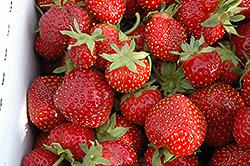 Seascape Strawberry (Fragaria 'Seascape') at Roger's Gardens