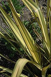Apricot Queen New Zealand Flax (Phormium tenax 'Apricot Queen') at Roger's Gardens