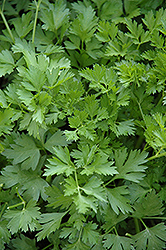 Italian Parsley (Petroselinum crispum 'var. neapolitanum') at Roger's Gardens
