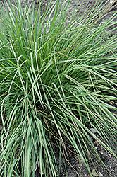 Savannah Ruby Grass (Melinis nerviglumis 'Savannah') at Roger's Gardens