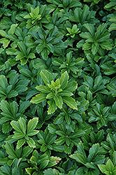 Green Sheen Japanese Spurge (Pachysandra terminalis 'Green Sheen') at Roger's Gardens