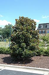 Little Gem Magnolia (Magnolia grandiflora 'Little Gem') at Roger's Gardens