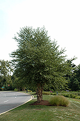 Dura Heat River Birch (clump) (Betula nigra 'Dura Heat (clump)') at Roger's Gardens