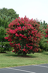 Arapaho Crapemyrtle (Lagerstroemia 'Arapaho') at Roger's Gardens