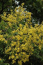 Golden Rain Tree (Koelreuteria paniculata) at Roger's Gardens