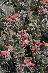 Topsy Turvy Echeveria (Echeveria runyonii 'Topsy Turvy') at Roger's Gardens