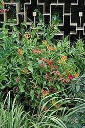 Gloriosa Lily (Gloriosa superba) at Roger's Gardens