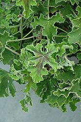 Chocolate Mint Scented Geranium (Pelargonium 'Chocolate Mint') at Roger's Gardens