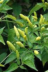 Tabasco Pepper (Capsicum frutescens 'Tabasco') at Roger's Gardens