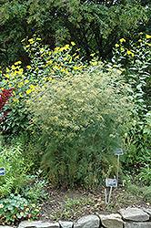Fennel (Foeniculum vulgare) at Roger's Gardens