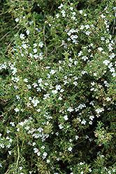 Winter Savory (Satureja montana) at Roger's Gardens