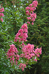 Hopi Crapemyrtle (Lagerstroemia 'Hopi') at Roger's Gardens