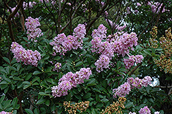 Yuma Crapemyrtle (Lagerstroemia 'Yuma') at Roger's Gardens