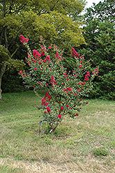 Cherokee Crapemyrtle (Lagerstroemia 'Cherokee') at Roger's Gardens