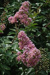 Muskogee Crapemyrtle (Lagerstroemia 'Muskogee') at Roger's Gardens