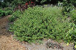 Little Imp Abutilon (Abutilon megapotamicum 'Little Imp') at Roger's Gardens