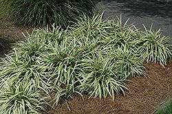Variegata Lily Turf (Liriope muscari 'Variegata') at Roger's Gardens