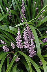 Lily Turf (Liriope muscari) at Roger's Gardens