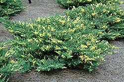 Variegated Japanese Juniper (Juniperus procumbens 'Variegata') at Roger's Gardens