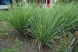 Hardy Sugarcane (Saccharum arundinaceum) at Roger's Gardens