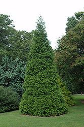 Green Giant Arborvitae (Thuja 'Green Giant') at Roger's Gardens