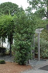Shrubby Podocarpus (Podocarpus macrophyllus 'Maki') at Roger's Gardens