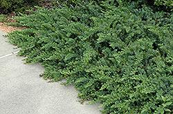 Emerald Sea Shore Juniper (Juniperus conferta 'Emerald Sea') at Roger's Gardens
