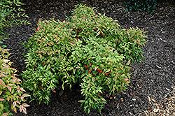 Pygmy Nandina (Nandina domestica 'Pygmaea') at Roger's Gardens