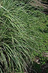 Little Zebra Dwarf Maiden Grass (Miscanthus sinensis 'Little Zebra') at Roger's Gardens