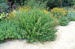 Turk's Cap (Malvaviscus arboreus var. drummondii) at Roger's Gardens