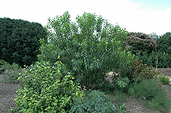 Morning Cloud Chitalpa (Chitalpa 'Morning Cloud') at Roger's Gardens