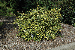 Variegated Silverberry (Elaeagnus pungens 'Maculata') at Roger's Gardens
