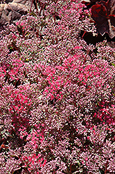 Rosy Glow Stonecrop (Sedum 'Rosy Glow') at Roger's Gardens