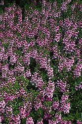 Serenita Pink Angelonia (Angelonia angustifolia 'Serenita Pink') at Roger's Gardens