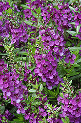 Archangel Dark Purple Angelonia (Angelonia angustifolia 'Archangel Dark Purple') at Roger's Gardens