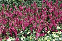 Archangel Dark Rose Angelonia (Angelonia angustifolia 'Balarcrose') at Roger's Gardens