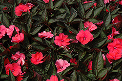 SunPatiens Compact Deep Rose New Guinea Impatiens (Impatiens 'SunPatiens Compact Deep Rose') at Roger's Gardens